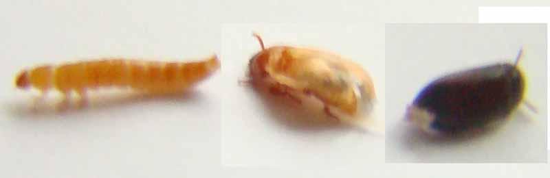 Эволюция жука знахаря от личинки до взрослого жука