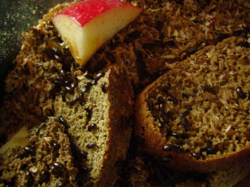 жук знахарь на хлебе размножение